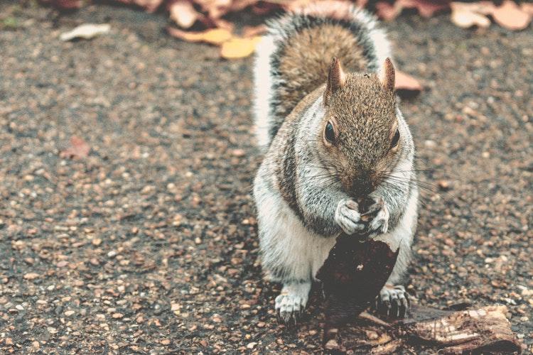 Des écureuils à Londres